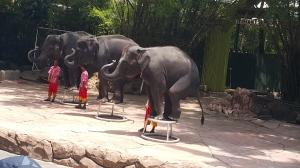 Elephant show off...